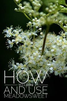 How to grow and use Meadowsweet, plus nine other beloved garden medicinals // Blog Castanea