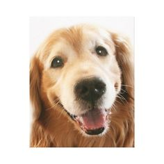 Smiling Golden Retriever Gallery Wrap Canvas