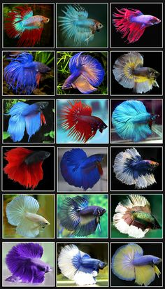 Peces Betta (Betta fish)