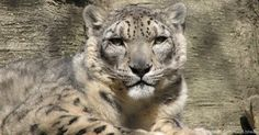 Advanced Technology Sheds Light on the Mysterious Snow Leopard Big Cats, Cats And Kittens, The Lion Sleeps Tonight, Vision Photography, Homeless Dogs, Mountain Lion, Majestic Animals, All About Cats, Leopards