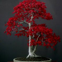 Japanese maple bonsai tree...also the back side of a mini Weirwood