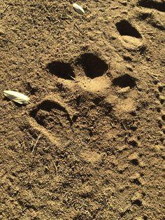 Hippo track, letaba staff village KNP