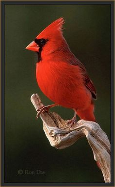 Cardinals and Grosbeaks (except Pine and Evening Grosbeaks). These are finch like birds with a heavy conical bill and usually simple, colourful plumage. This is a Northern Cardinal. Pretty Birds, Beautiful Birds, Animals Beautiful, Cute Animals, Exotic Birds, Colorful Birds, All Birds, Love Birds, State Birds