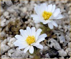 Desert Flower Names | daisy desertstar desert star monoptilon bellidiforme