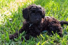 Schnoodle Puppy, Cavachon, Havanese Dogs, Purebred Dogs, Poodle Cross Breeds, Poodle Mix Breeds, Miniature Schnoodle, Dog Crossbreeds, Most Popular Dog Breeds