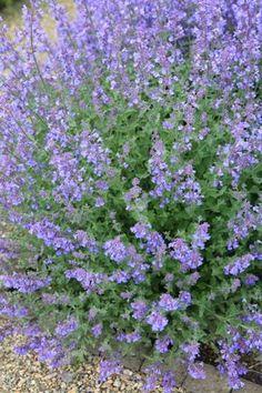 Kattenkruid - Garden and Flowers - Modeste over tuinen en planten
