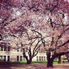 Most Beautiful Campus in America?! The Quad at the University of Washington and its spectacular cherry trees.