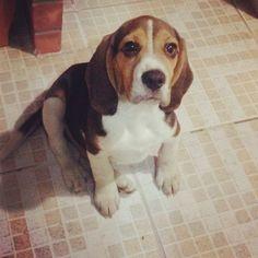 #beagle #dogs