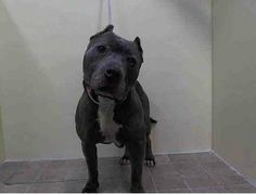 SAFE --- URGENT - Manhattan Center    ALPHA - A0989626   NEUTERED MALE, GRAY / WHITE, PIT BULL MIX, 4 yrs  STRAY - STRAY WAIT, HOLD FOR DOH-NHB Reason STRAY   Intake condition INJ MINOR Intake Date 01/15/2014, From NY 11412, DueOut Date 01/18/2014 https://www.facebook.com/photo.php?fbid=742005185812363&set=pb.152876678058553.-2207520000.1389826170.&type=3&theater