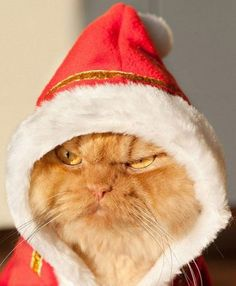 Move over Grumpy Cat, the internet has a new sensation: a Persian cat named Garfi, better known as Angry Cat. Living in Turkey with his owner Hulya Ozkok Funny Cats, Funny Animals, Cute Animals, Animal Memes, Animals Images, Christmas Animals, Christmas Cats, Merry Christmas, Christmas Mood