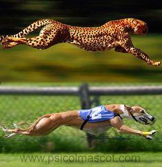 Wonderful comparison of 2 amazing 4-legged athletes! Greyhound