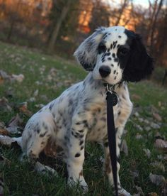 Amos the English Setter | Puppies | Daily Puppy