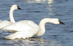 tundra swan pictures | Tundra Swan