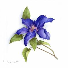 Botanical Watercolor with Vincent Jeannerot Art And Illustration, Art Floral, Botanical Flowers, Botanical Prints, Watercolor Flowers, Watercolor Paintings, Watercolor Tattoo, Blue Clematis, Impressions Botaniques