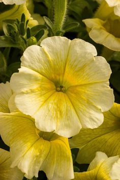 70 Petunia EASY WAVE YELLOW Trailing/Spreading Live Plants Plugs Planters 579 #BountifulPlants