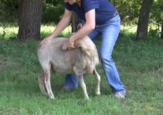 Sit the Sheep down   How to Trim Hooves of Goats and Sheep