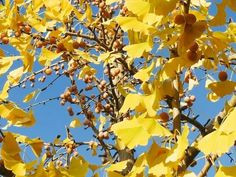 Ginkgo is popularly known as living fossils. It is also known by other names like Fossil tree, Kew Tree and Silver Apricot. Ginkgo trees are in a position Free Pictures, Free Images, Living Fossil, Medicinal Herbs, Fossils, The Cure, Amazing, Palace, Purple