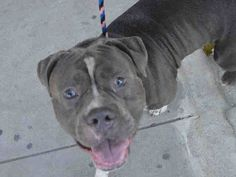 ●9•8•16 STILL THERE●OREGENO - A1087840 - Urgent Manhattan - MALE BLUE/WHITE AM PIT BULL TER MIX, 2 Yrs - STRAY - NO HOLD Reason STRAY - Intake 08/29/16 Due Out 09/01/16
