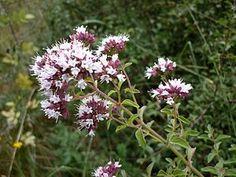 """""""Oregano (Aussprache: [oˈʁeːganoː]) (Origanum vulgare) ist eine Pflanzenart in der Familie der Lippenblütler (Lamiaceae). Trivialnamen sind beispielsweise Dorst, Dost, Echter Dost, Gemeiner Dost, Gewöhnlicher Dost[1], Wohlgemut oder Wilder Majoran. Sie wird als Gewürz- und Heilpflanze verwendet.""""   Echter Dost (Origanum vulgare)"""