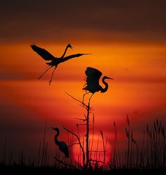 Dancing Cranes in Sunset