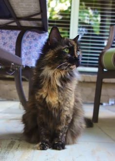 Fluffy ~ Meow Monday | Plain Chicken. Tortie cat.