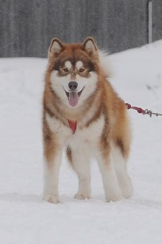 Canadian Eskimo Dog 40 to 88 pounds 20 to 28 inches* Malamute Puppies, Alaskan Malamute, I Love Dogs, Cute Dogs, Canadian Eskimo, Loyal Dogs, Puppies And Kitties, Animal Sketches, Working Dogs