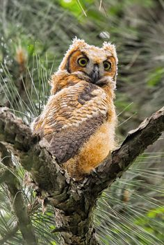 Artistic Realistic Nature - featheroftheowl: Juvenile Great Horned Owl by...--' so happy I found a pineless spot! The other day was such a pain in the arriere .'