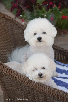 quenalbertini: Chloe & Gracie on chair Cute Puppies, Cute Dogs, Dogs And Puppies, Doggies, Bichon Dog, Teacup Chihuahua, Teacup Puppies, Adoptable Beagle, Funny Dog Pictures