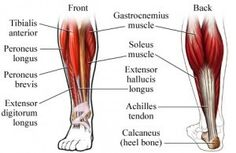 Alcoholic neuropathy cure can peripheral neuropathy be healed,cures for neuropathy in the feet diabetic neuropathy leg pain treatment,entrapment neuropathy foot neuropathy cure. Calf Muscle Anatomy, Calf Anatomy, Leg Muscles Anatomy, Lower Leg Pain, Lower Leg Muscles, Thigh Muscles, Major Muscles, Calf Muscle Strain, Best Calf Exercises