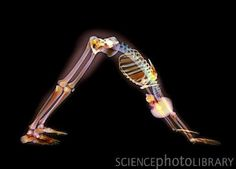 X-ray of downward facing dog position.  This is actually very instructive.