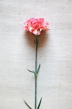 my favourite flower of all time, carnation