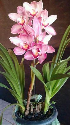 Orquideas Cymbidium, Flower, Gardening, Colorful, Beautiful, Orchids Garden, Baby Nest, Cactus Plants, Nature