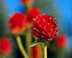 Red Gomphrena