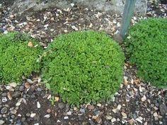 Cultivo y cuidados del árbol de jade Aeonium, Crassula Ovata, Stepping Stones, Cactus, Patio, Outdoor Decor, Gardening, Ideas, Gardens