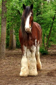 Clydesdale Horse ...