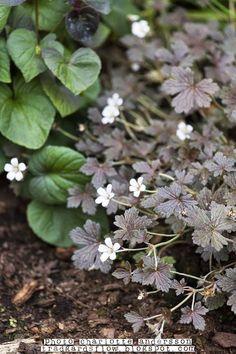 Trädgårdsnävan 'Sanne' | På bara en säsong blev omfånget nästan 1 kvm. Den har snyggt mörka blad och små skira vita blommor. Blir endast ca 20 cm hög och trivs bäst i soligt läge.