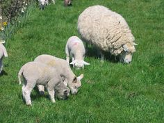 Wypas dla każdej owcy! Odwiedź: http://puszystaowca.pl/wypas-owiec/