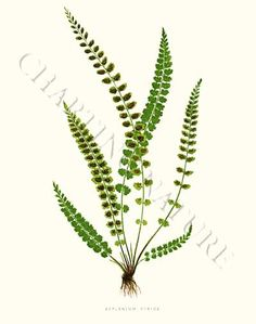 fern group of 6