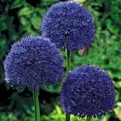 "The Persian Blue Allium. The colorful globes are actually clusters of hundreds of long-lasting, star-shaped florets. The Persian Blue Allium grows to 3' and spreads about 12"". Grows well in full sun to partial shade and combines well with low-growing perennials such as hostas.     Zones: 3-8 - Bulb Size: 12+ cm - Height: 34-36"" - Bloom Time: Late Spring   Deer Resistant Flower seeds"