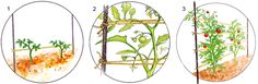 A Cat's Cradle for Tomatoes: Organic Gardening