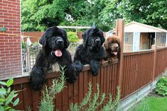 Newfies <3 Whatcha doin', huh, what-food, is that food I see?