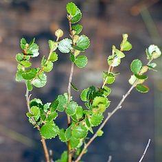 vaivaiskoivu - Betula nana
