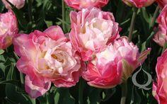 Double Late Tulip 'Double Sugar'