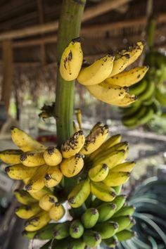 http://pin.sanctuarybelize.com      A variety of bannanas to pick from in the organic gardens of Sanctuary Belize.