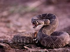Animal of the day: Western diamondback rattlesnake, Crotalus atrox. This snake is North America's most dangerous rattlesnake, with the highest rate of human fatalities