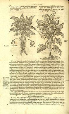 Mandragora, 1591, Matthias de L'Obel, Icones stirpium [tomus primus], Antuerpiae ~ Ex officina Plantiniana. Apud Viduam et Ioannem Moretum, (Mandragora, Melangena), P.138