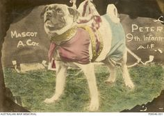 'Peter', the mascot of A Coy. 9th Battalion, AIF.