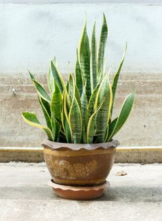 Air Purifying Plants - Snake Plant
