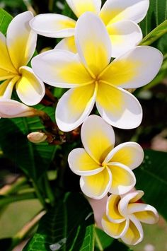 Frangipani come in subtle shades of yellow, pink, peach.......they smell wonderful too!
