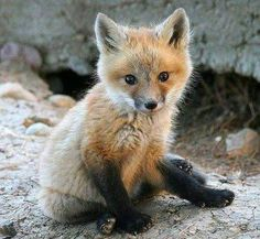 Baby Fox - so cute! :) Baby Fox - so cute! Cute Baby Animals, Animals And Pets, Funny Animals, Wild Animals, Strange Animals, Rare Animals, Fuchs Baby, Fox Pictures, Baby Animals Pictures